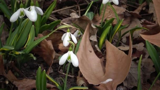 Videó csúszda. Amaryllidoideae, Galanthus (Elwes hóvirág, nagyobb hóvirág) a vadonban a Tiligul torkolat lejtőin, Vörös Könyv Ukrajna
