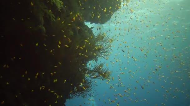 Klenot víla baslet (Pseudanthias squamipinnis) a mnoho dalších druhů ryb plavat mezi korály na útesu v Rudém moři, Egypt
