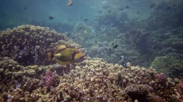 Totan triggerfish (Balistoides viridescens), fish swims over a coral reef, Red Sea, Egypt