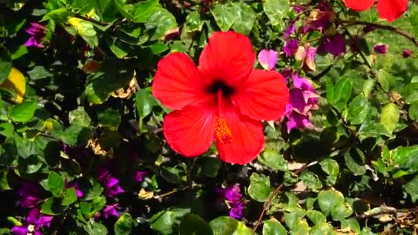 (Hibiscus rosa) Red Chinese hibiscus, Egypt