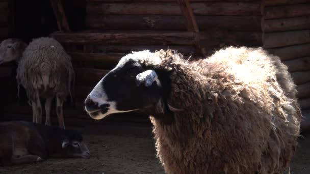 Tiere in Zoos, Schafe blöken, im Odessa Zoo, Odessa, Ukraine