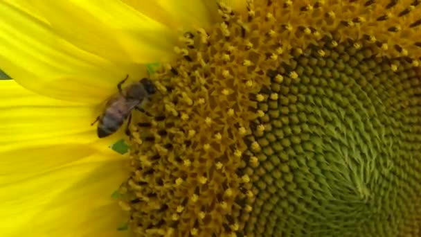 Bee collects honey on sunflower. The common sunflower (Helianthus annuus)