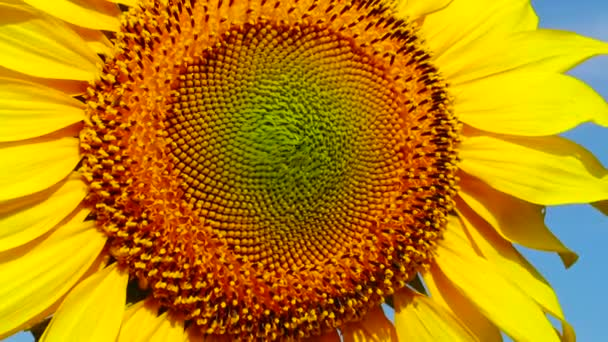 Slunečnicový květ proti obloze, zblízka. Ukrajina