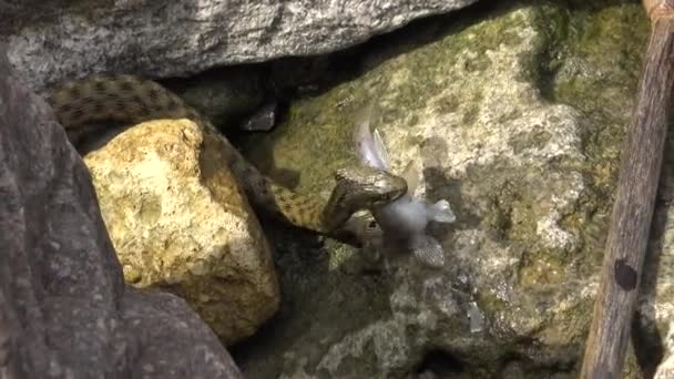 Had chytil rybu. Hadí kostka (Natrix tessellata). Vodní had