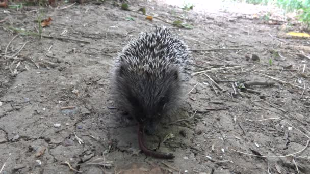 A young Hedgehog eats a trapped earthworm. The European hedgehog (Erinaceus europaeus), also known as the West European hedgehog or common hedgehog