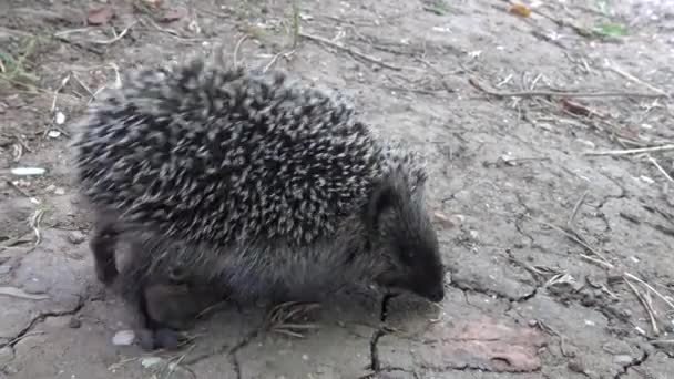The European hedgehog (Erinaceus europaeus), also known as the West European hedgehog or common hedgehog