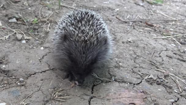 Young Hedgehog eats caught prey. The European hedgehog (Erinaceus europaeus), also known as the West European hedgehog or common hedgehog