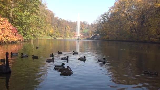 Černá labuť plave v umělém jezeře v Sophia Park, Uman, Ukrajina
