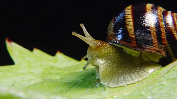 Helix pomatia, běžná jména římského šneka, burgundského šneka, jedlého šneka nebo šneka. Šnek se pomalu plíží po listí. Ukrajinská fauna.