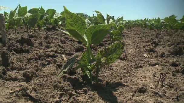 Growing Organic Green Bean Seedlings Field