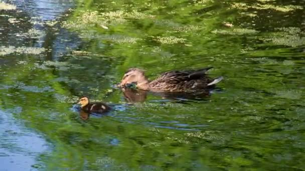 Mother Duck and Duckling. Duck with little duckling swim on the surface of the swampy pond