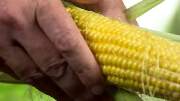 Farmers rukou odtrhnout zelené listy z kukuřičné klásky, odhalující zralého zrna