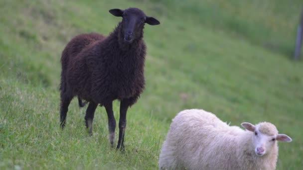 Black sheep on pasture