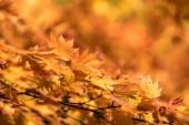 Červený dovolenou z javorového stromu pro podzimní propad