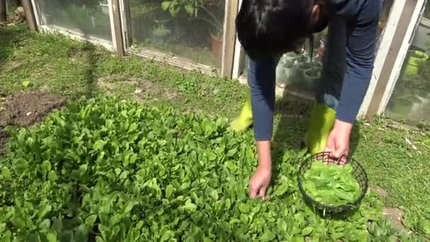 Picking spinach in small organic farm. Home vegetable garden with spinach.