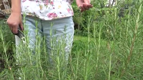 Picking rosemary in small organic farm. Home vegetable garden with rosemary.