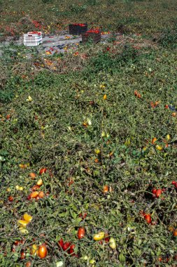Picking tomatoes manually in crates. Tomato farm. Tomato variety