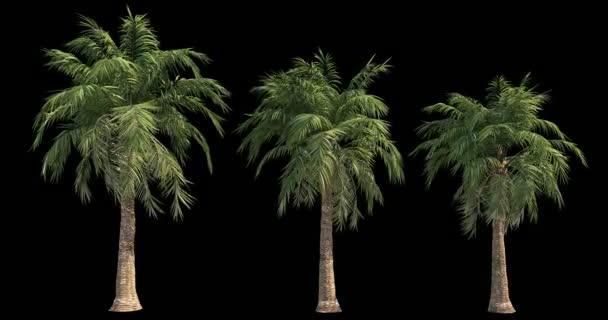 4k Filmmaterial von windigen Palmen für architektonische Visualisierung mit Schnittmaske