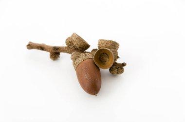 acorns on white background