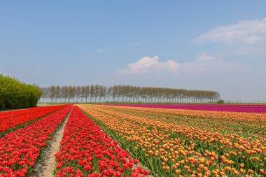 """Картина, постер, плакат, фотообои """"Цветение тюльпанов поля в Солнечный день в Голландии с красные, оранжевые и розовые тюльпаны в полном цветении.."""", артикул 204120564"""