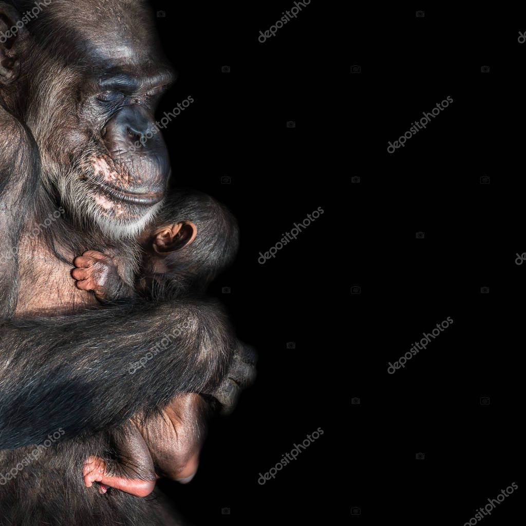 Portrait of mother Chimpanzee with her funny small baby at black background, extreme closeup