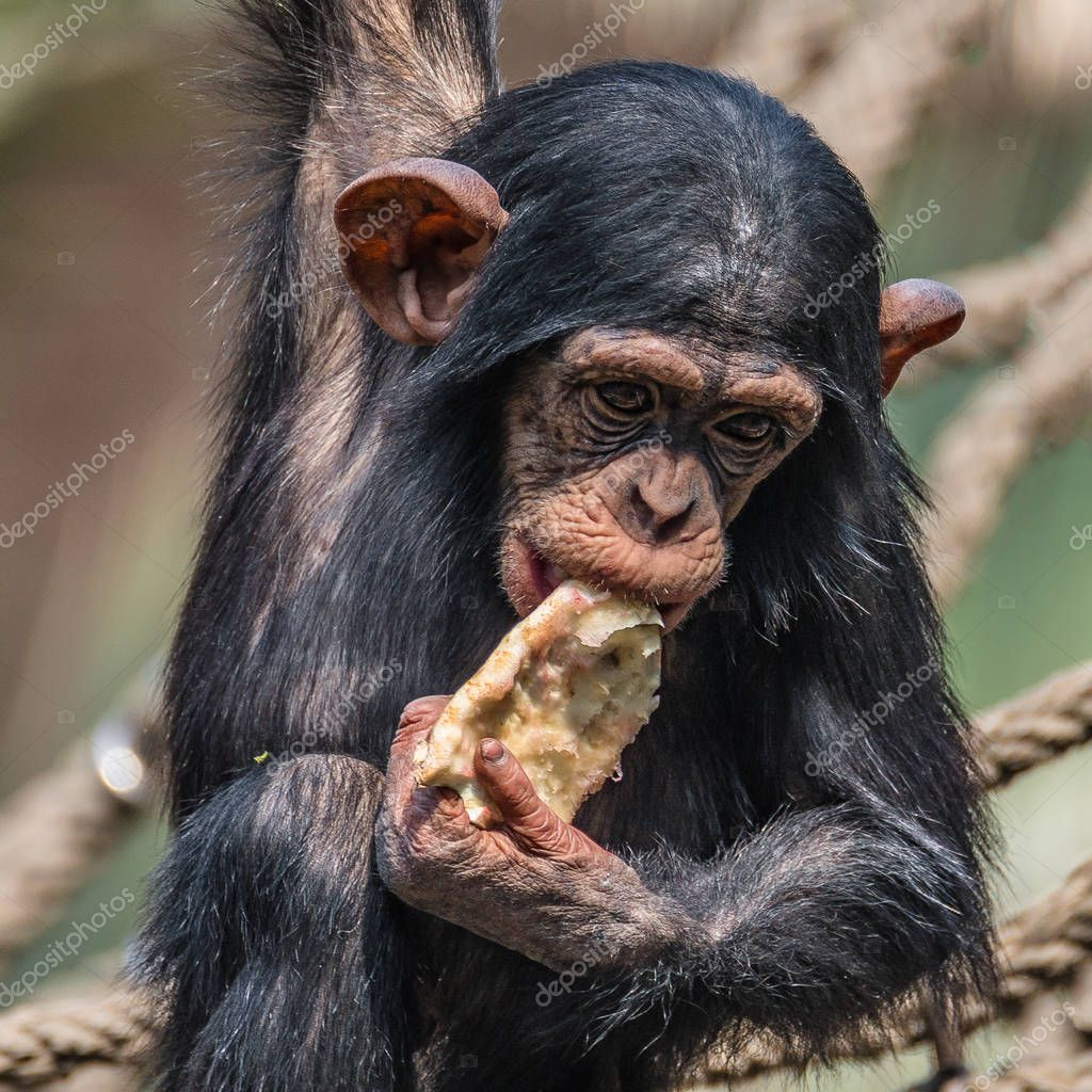 Portrait of cute baby Chimpanzee playing with food, extreme closeup