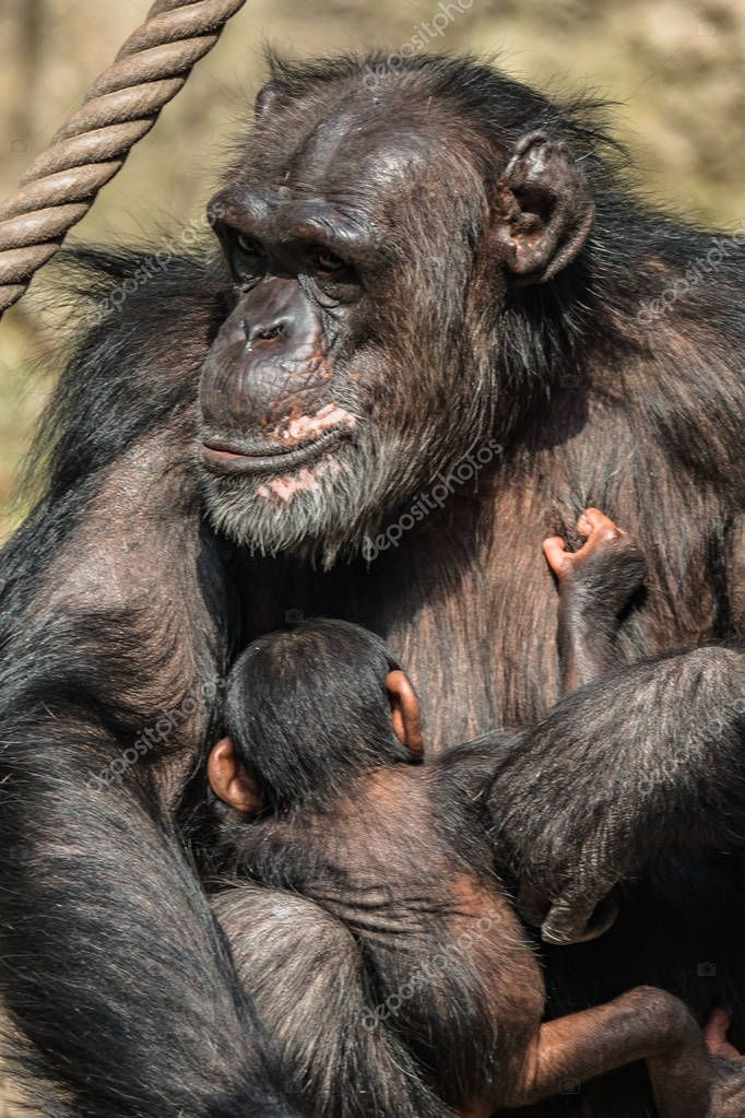 Portrait of mother Chimpanzee with her funny small baby, extreme closeup