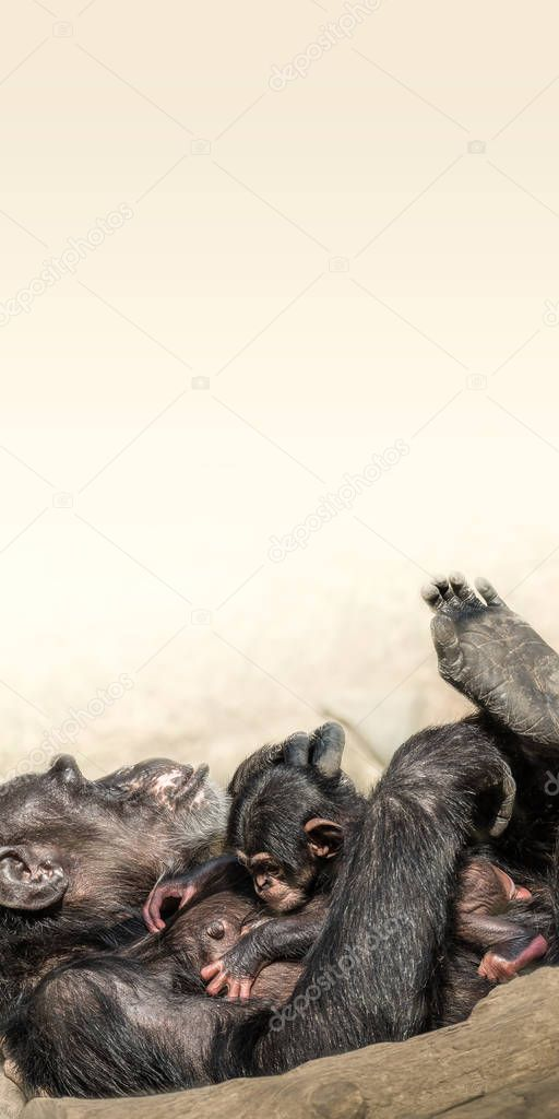 Portrait of mother Chimpanzee with her funny small baby, extreme closeup, smooth background