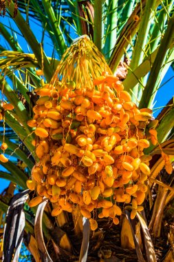 Beautiful date palm tree in front of blue sky with edible sweet fruits, Autumn, closeup