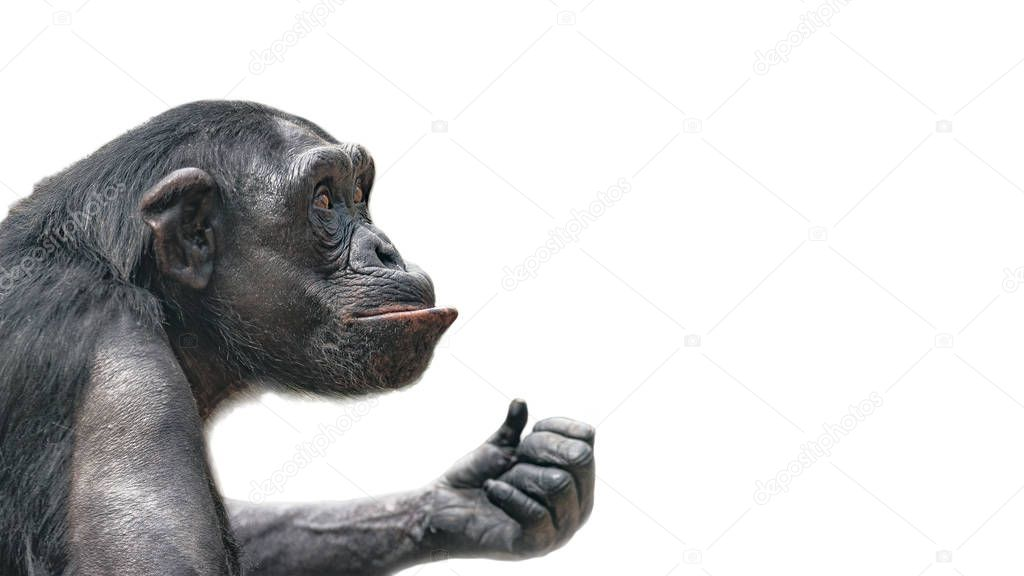Portrait of curious Chimpanzee like asking a question, at white background, extreme closeup, details, paste space
