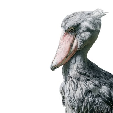 Portrait of enormous and beautiful African shoebill stork isolated at white background