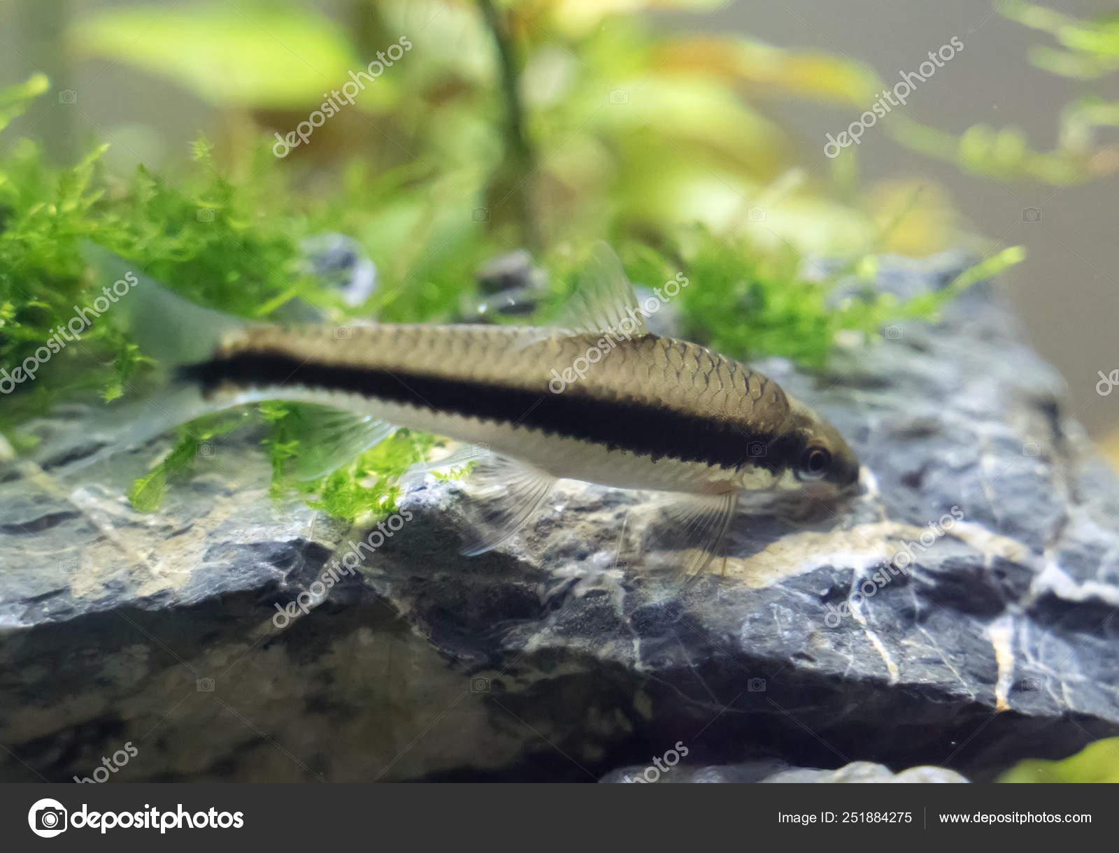 Siamese Algae Eater In Freshwater Aquarium Crossocheilus Oblongus Stock Photo C Dmitrimaruta 251884275