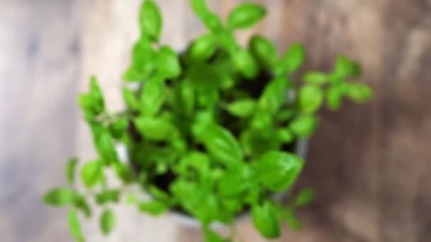 Bazalka bylinky v hrnci na kuchyni.