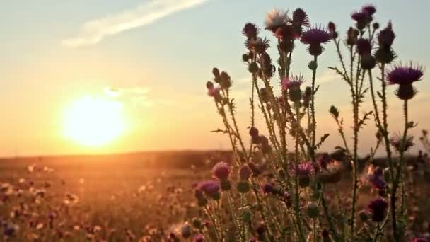 Thistle in a summer field at sunset