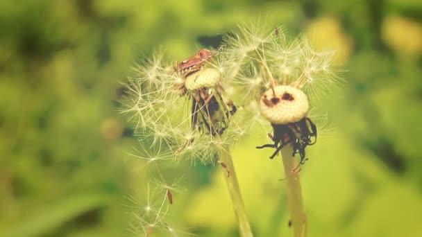 Na letní louce. Lesní hmyz na Pampeliška.