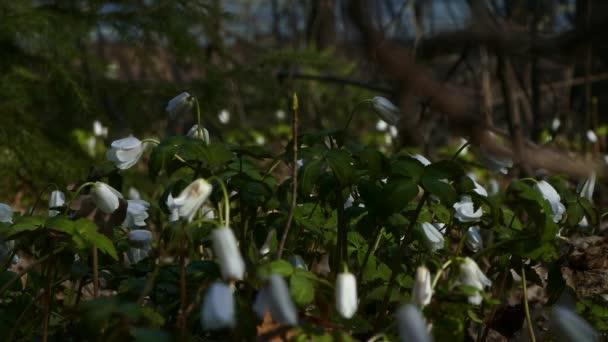 Több primroses virágzik