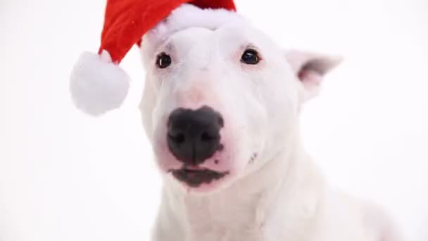 Bull terrier v klobouku vánoční červené na bílém pozadí v ateliéru