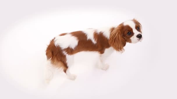 Cavalier King Charles Spaniel posing in front of camera in studio on white background
