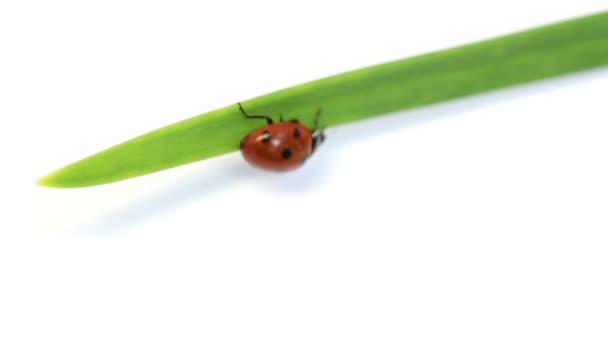 Beruška na zelené stéblo trávy