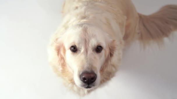 roztomilý pejsek - portrét krásného zlatého retrívra na bílém pozadí