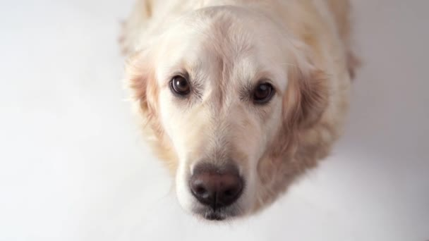 funny slow-motion video - dog golden retriever catches food at home. Slow motion, high speed camera