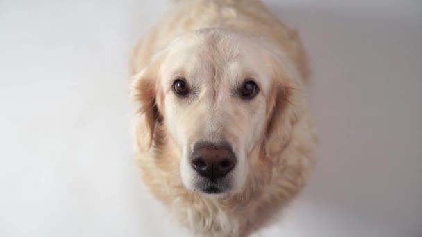 Lustiges Zeitlupenvideo - Hund Golden Retriever fängt zu Hause Futter. Zeitlupe, Hochgeschwindigkeitskamera