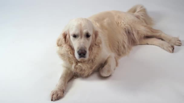 cute dog - portrait of a beautiful golden retriever on white background