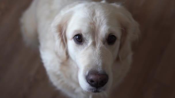 komik video - köpek golden retriever evde yemek yakalar.