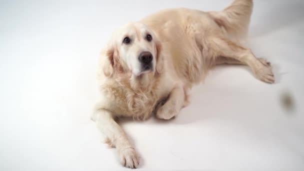 legrační zpomalené video - pes zlatý retrívr zachytává jídlo doma. Zpomalený pohyb, vysokorychlostní kamera
