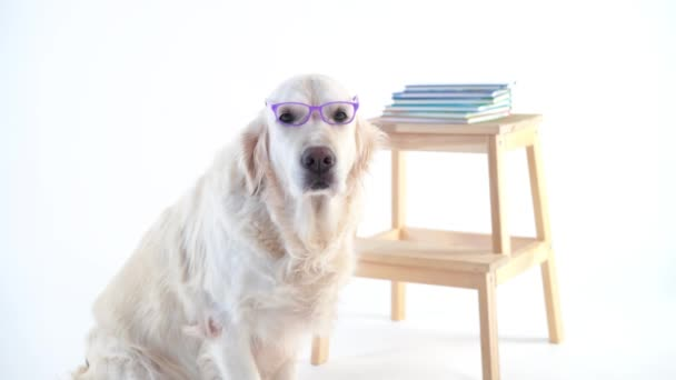 vissza a schoo - vicces videók, szép kutya-val egy fárasztó szemüveg, pózol a stúdió egy fehér háttér