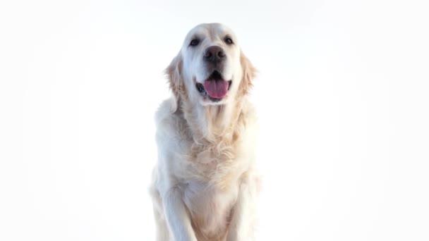 Porträt eines schönen Hundes auf weißem Hintergrund im Studio isoliert