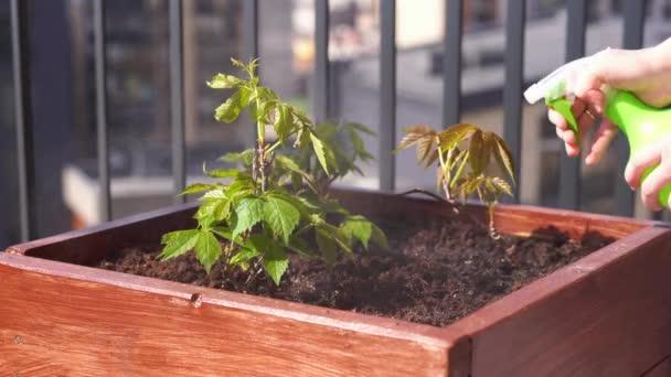 Jardinería Y Horticultura Cultivando Uvas Femeninas En Una Caja En Una Terraza De La Ciudad
