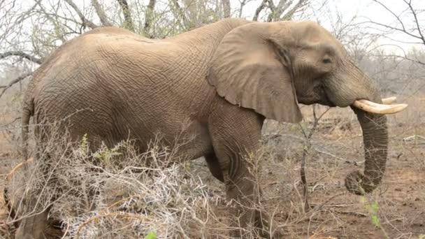 Elefánt étkezési-ban pusztaság