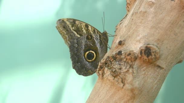 Bagoly pillangó egy ág